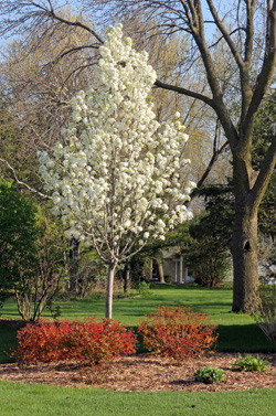 A young callery pear in a landscape.