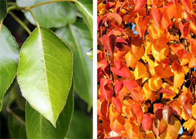 The smooth, glossy leaves change from green (L) to brilliant colors in the fall (R).