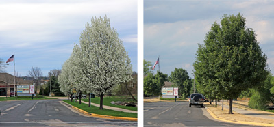 Callery pear is often used as a street tree.
