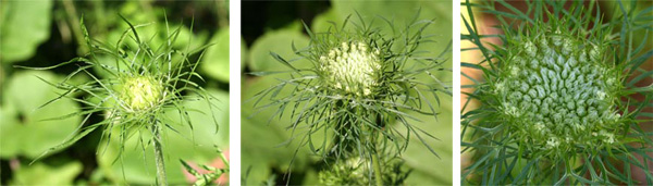 A Queen Anne's lace flower opens from a small bud.