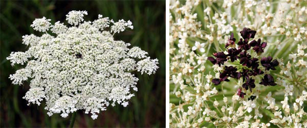 The Queen Anne's lace
