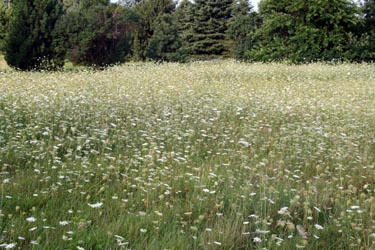 Queen Anne's lace is common in dry fields, roadside ditches and open areas.