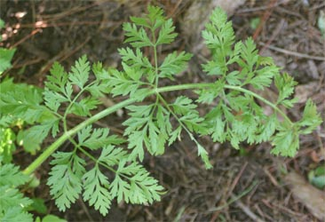 Leaf of the Queen Anne's lace plant.