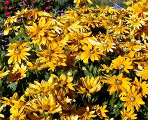 'Prairie Sun' black-eyed Susan in bloom