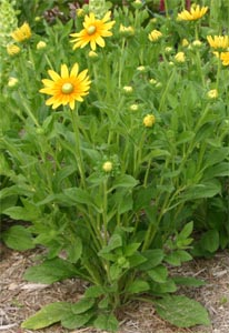 The plants grow first as basal clumps of leaves, then develop tall flower stems