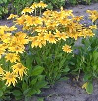 Flowers of 'Prairie Sun' are borne on strong stems