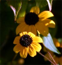 The ray flowers of Rudbeckia triloba are shorter and wider than most other coneflowers.