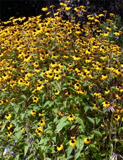 Rudbeckia triloba is covered with flowers when in bloom.