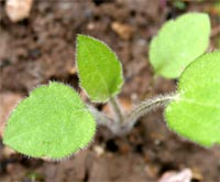 A seedling of Rudbeckia triloba.