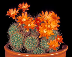 Rebutia fiebrigii is a very variable species. This one was originally named R. donaldiana.
