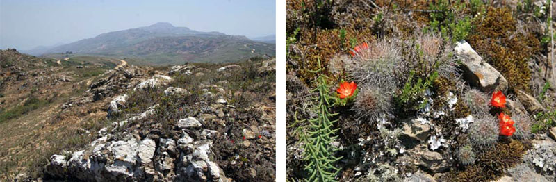 Rebutia fiebrigii near Pucara, Bolivia (2850m = 9350ft). Photos by Graham Charles, Stamford, England.