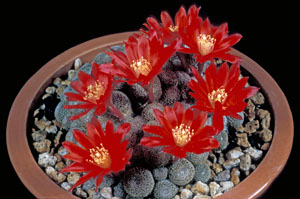 Rebutia heliosa is a choice miniature; this is a form originally named R.heliosa var. cajasensis.