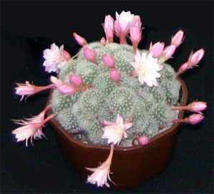 Rebutia hybrid 'Carnival' with many offsets.