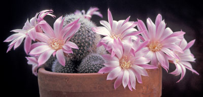 Originally called Rebutia narvaecensis, this is now considered to be a form of R. fiebrigii.