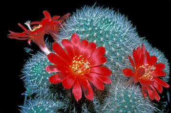 Rebutia minuscula is one of the earliest named species. It is quite variable and many names have been published. This form was long known as R. senilis.