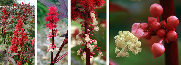 The small male fl owers are produced below the more conspicuous terminal female flowers.