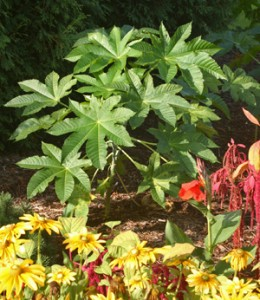 Castor bean is a fast-growing tender perennial large shrub or small tree.
