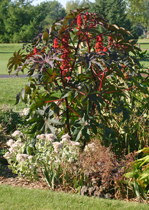 how to grow a castor bean plant from seed