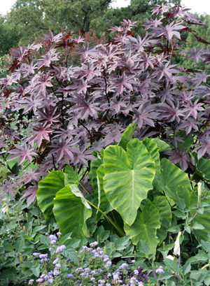 The dark side plants with black or purple foliage for Different garden plants