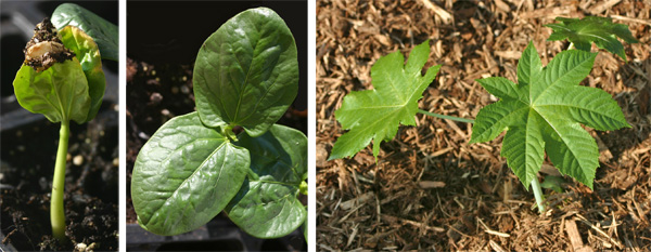 The large seeds germinate in 1-3 weeks (L) with smooth colyledons (C) that do not resemble the true leaves that are soon produced on the seedlings (R).