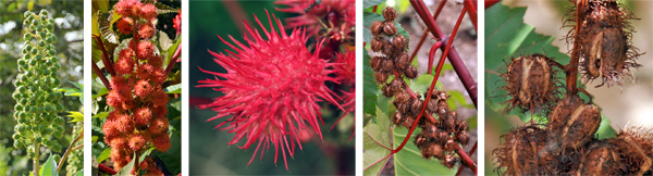 The spiny seed pods may be green (L), pink or red (C), but eventually turn brown and split open when ripe (R).