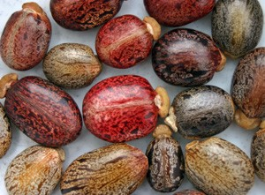 The intricately mottled seeds have a spongy caruncle at one end.