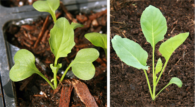 Seedling (L) and young Romanesco plant (R).