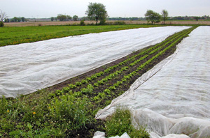 Floating row covers protecting young crops.