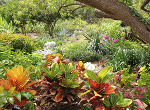 Colorful croton and other plants grown in the shade of a tree at the San Antonio Botanical Gardens.