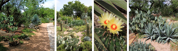 The Cactus and Succulent garden features these distinctive plants in naturalistic settings.