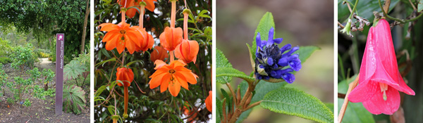The entrance to the Andean Cloud Forest (L), Passiflora parritae from Columbia (LC), Salvia corrugata from the Andes (RC) and Chilean bellflower, Lapageria rosea, the national flower of Chile (R).