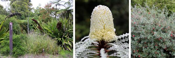 The entrance to the Australian Garden (L), Banksia speciosa (C), and Grevillea victoriae (R).
