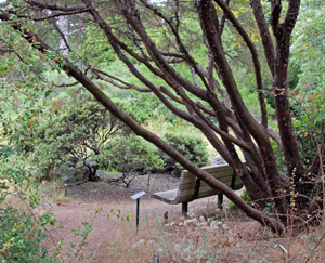 Tecate cypress, Cupressus forbesii, shades a bench in the California garden.
