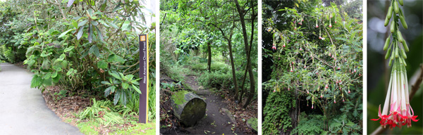 The entrance to the Meso-American Cloud Forest (L), a trail through the forest (LC), and Fuchsia boliviana tree (RC) and flower (R).