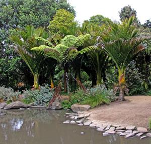 Tree ferns and nikau, Rhopalostylis sapida, New Zealands only native palm edge the pond.