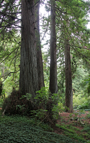 The tall trees of the redwood grove create deep shade.