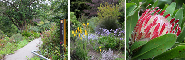 The entrance to the South African Garden (L), with blooming yellow Kniphofia and blue Agapanthus (C) and flower of Protea obtusifolia (R).