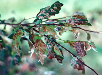 During severe outbreaks, leafminers will devour virtually all usable leaf tissue, resulting in brown, dry, shriveled leaves. Under such conditions trees are heavily stressed.