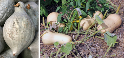 Hubbard squash (L) is very susceptible, while Buttternut (R) is somewhat resistant.