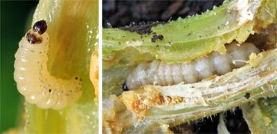 Small squash vine borer larva (L) and larger larva in vine stem (R).