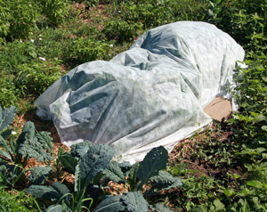 Floating row cover can be used to keep moths from laying eggs on squash plants.