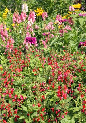 Salvia coccinea likes full sun.