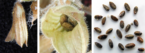 The small, dark-colored seeds (R) remain within the dried calyx (L and C) until they are removed by birds or shaken loose.