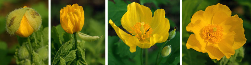 The flowers of celandine poppy are yellow to yellow-orange, with lots of stamens in the center.