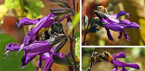 Bees as nectar robbers: bumble bee (L) and honey bees (R) drilling a hole through the calyx of Salvia guaranitica to get to the nectar without entering through the opening where pollen would be deposited.