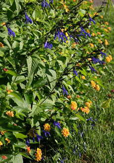 Blue anise sage adds interesting color to many annual plantings.
