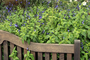Blue anise sage is a bushy subshrub.