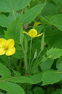 Stylophorum lasiandrum