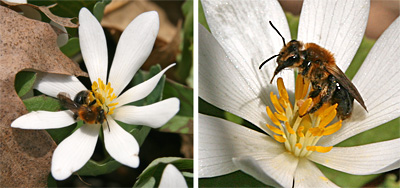 Bloodroot is cross-pollinated by bees and other insexts, but will self pollinate if not visited by insects.