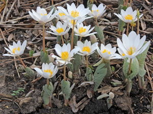 Bloodroot blooming in early spring.